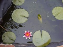 My First Red Water Lily
